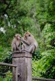 Mutteraffe, der jungen Affen säubert Stockfoto