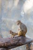 Mutteraffe, der um ihrem Baby sich kümmert Stockfotografie
