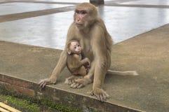 Mutteraffe und ihr kleiner Affe höhlen Tempel in Chiang- Rainort aus Lizenzfreies Stockfoto