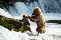 Mutterbär diszipliniert das Junge, das ihre Fische stiehlt Lizenzfreie Stockfotografie