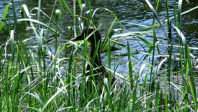 Mutterente mit einer Brut von den kleinen Entlein, die durch das Wasser schwimmen stock footage