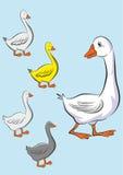 Mutterente und ihre kleinen glücklichen Enten Lizenzfreies Stockbild