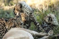 Muttergepard machte eine Tötung für ihre Jungen lizenzfreie stockfotografie