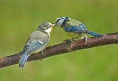Muttergesellschaft des blauen Tit speist ihr Fladgling. lizenzfreie stockfotografie