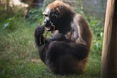 Muttergorilla, der sein Schätzchen speist Lizenzfreies Stockbild