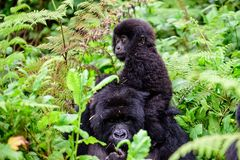 Muttergorilla mit ihrem Baby Stockbild