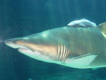 Mutterhaifisch und Schätzchenhaifisch, Südafrika Stockbild
