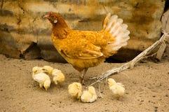 Mutterhenne und -hühner Stockfotografie