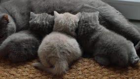 Mutterkatze, die ihre Babys einzieht stock video