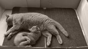 Mutterkatze, die ihre Kätzchen, Fußmatte einzieht stock footage