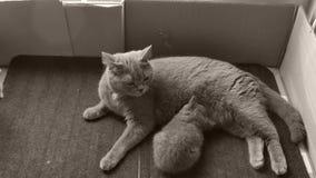 Mutterkatze, die ihre Kätzchen, Fußmatte einzieht stock video