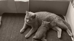 Mutterkatze, die ihre Kätzchen, Fußmatte einzieht stock video footage