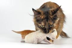 Mutterkatze, die neugeborenes Kätzchen trägt Stockbilder