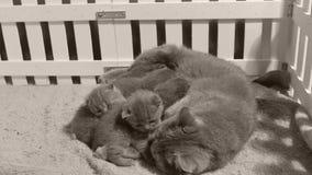 Mutterkatzenreinigung und lecken Kätzchen, weißer Zaun stock video footage