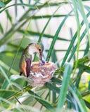 Mutterkolibri, der ihre Junge speist Stockbild