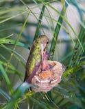 Mutterkolibri, der ihre Junge speist Stockfotografie