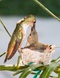 Mutterkolibri, der ihre Junge speist Lizenzfreies Stockfoto
