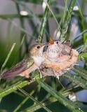 Mutterkolibri, der ihre Junge speist Stockfotos