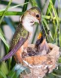 Mutterkolibri, der ihre Junge speist Stockfoto