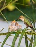 Mutterkolibri, der ihre Junge speist Lizenzfreies Stockbild