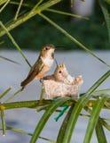 Mutterkolibri, der ihre Junge speist Lizenzfreie Stockfotos