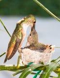 Mutterkolibri, der ihre Junge speist Stockbilder