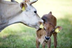 Mutterkuh leckt Kalb in der Wiese Stockfotografie