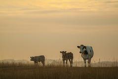 Mutterkuh mit zwei calfs während des Sonnenuntergangs Lizenzfreie Stockbilder