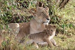 Mutterlöwin mit Jungem Stockfoto