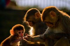 Muttermacaque pflegen ihr Schätzchen lizenzfreie stockfotos