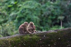 Muttermacaque pflegen ihr Schätzchen Lizenzfreies Stockbild