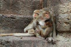 Muttermacaque pflegen ihr Schätzchen Lizenzfreie Stockbilder