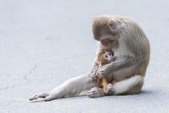 Muttermacaque pflegen ihr Schätzchen Stockfoto