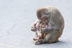 Muttermacaque pflegen ihr Schätzchen Lizenzfreies Stockfoto