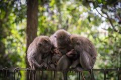 Muttermacaque pflegen ihr Schätzchen Stockbilder