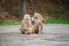 Muttermacaque pflegen ihr Schätzchen Stockbild