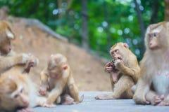 Muttermacaque pflegen ihr Schätzchen Stockfotos
