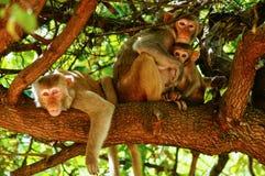 Muttermacaque pflegen ihr Schätzchen Lizenzfreie Stockfotografie