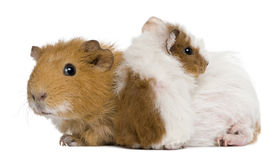 Muttermeerschweinchen und ihr Schätzchen lizenzfreie stockfotos