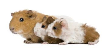 Muttermeerschweinchen und ihre zwei Schätzchen lizenzfreie stockbilder