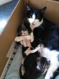 Muttermiezekatze mit Kätzchen lizenzfreies stockfoto