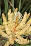 Muttern der schwarzen Kiefer mit dem Blütenstaub/Pinus nig Stockfotos
