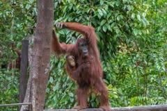 Mutterorang-utan mit ihrem Baby steht auf einem Klotz und Resten über einen Baum (Indonesien) Lizenzfreie Stockfotos