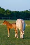 Mutterpferd mit Colt Stockfoto