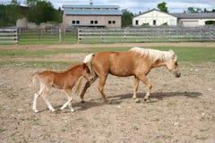 Mutterpferd und -fohlen Lizenzfreies Stockfoto