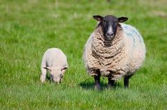 Mutterschaf mit neugeborenem Lamm Stockfotos