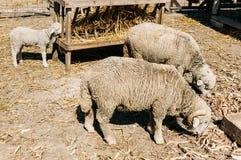 Mutterschaf, Ram und Lamm, die auf einem Bauernhof essen Stockbild