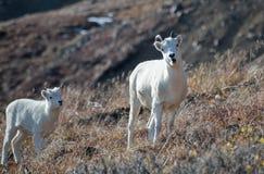 Mutterschaf und Lamm Dall Schafe Lizenzfreies Stockbild