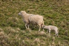 Mutterschaf und Lamm, Shropshire, England Stockbilder