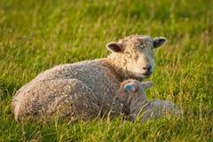 Mutterschafe mit ihrem Baby auf Weide in Neuseeland lizenzfreies stockbild